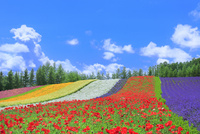 ファーム富田 彩りの畑(ポピー,ラベンダー)  11076032337| 写真素材・ストックフォト・画像・イラスト素材|アマナイメージズ