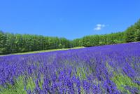 ファーム富田 ラベンダーの花畑