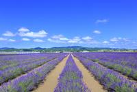 ラベンダーイースト ラベンダーの花畑