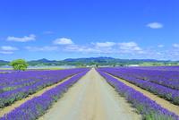 ラベンダーイースト ラベンダーの花畑と道