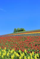 かんのファーム 花畑(キンギョソウ,サルビア)と樹林  11076032354| 写真素材・ストックフォト・画像・イラスト素材|アマナイメージズ