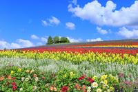 かんのファーム 花畑(ダリア,サルビア,キンギョソウ)と樹林  11076032359| 写真素材・ストックフォト・画像・イラスト素材|アマナイメージズ