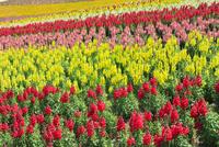 四季彩の丘 キンギョソウの花畑