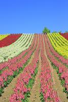 四季彩の丘 キンギョソウの花畑と緑木