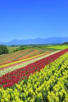 四季彩の丘 キンギョソウの花畑と十勝連峰(十勝岳) 11076032368| 写真素材・ストックフォト・画像・イラスト素材|アマナイメージズ