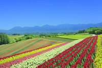 四季彩の丘 キンギョソウの花畑と十勝連峰(十勝岳)