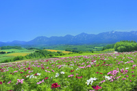 四季彩の丘 コスモスの花畑と十勝連峰(十勝岳)