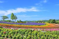 美瑛 ぜるぶの丘の花畑