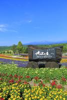 美瑛 ぜるぶの丘の花畑と大雪山(旭岳)
