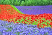 ファーム富田 花畑(アゲラタム,ポピー,ラベンダー)