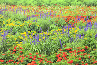 フラワーランド 花畑(マリーゴールド,サルビア)