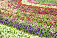 フラワーランド 花畑(ペチュニア)