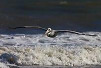 Brown pelican flying over waves