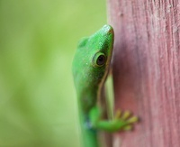 Green gecko clambering tree