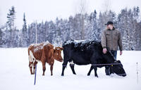 Farmer standing with cows in winter landscape