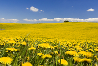 Farm field with dandelions, Osterlen, Skane, Sweden.