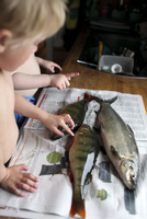 Two children touching dead fish on kitchen counter