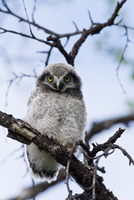 Hawk owl on tree