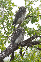 Hawk owls on tree
