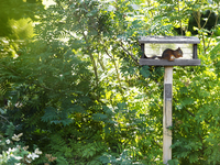 Red squirrel eating in bird table