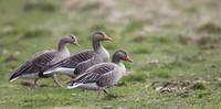 Greylag geese walking