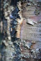 Bark of birch tree