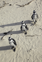 Three gentoo penguins walking