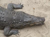Crocodile on beach