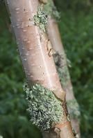 Lichen on birch bark, close-up