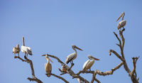 Pelicans perched on tree