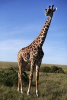 Giraffe on savannah 11077007017| 写真素材・ストックフォト・画像・イラスト素材|アマナイメージズ