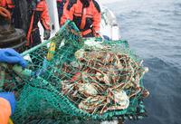 Horseshoe crabs in net