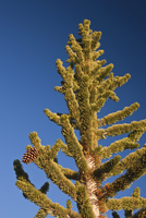 Young pine tree against blue sky
