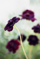 Close-up of purple flower Cosmos 'Choccamocca'
