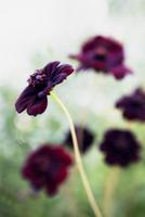 Close-up of purple flower Cosmos 'Choccamocca'
