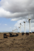 Cows on pasture an wind turbines in background