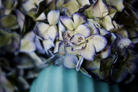 Dried Hortensia in vase, close-up