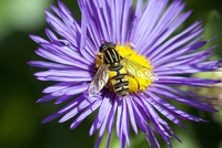 Hoverfly on flower, close-up