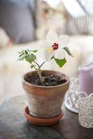 Flowering hibiscus in pot