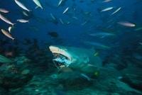 Lemon Shark chomps down on a large tuna head, Fiji.