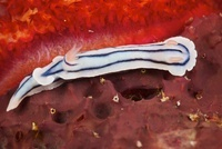 Close-up view of a nudibranch feeding on the reef, Fiji.