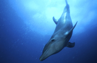 Bottlenose dolphin, Palau, Micronesia.