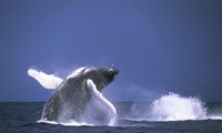 Humpback Whale breaching off Silver Banks, Dominican Republi