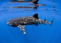 Whale Shark off coast of Isla Mujeres, Mexico.