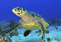 Hawskbill turtle on caribbean reef.
