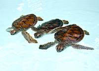 Three baby green turtles in nursery pool in Riviera Maya, Me