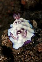 Chromodoris hintuanensis sea slug nudibranch.