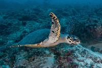 Sea turtle swimming over reef, Ari and Male Atoll, Maldives.
