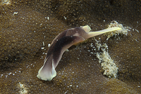 Brown and yellow folded sea slug, Indonesia.