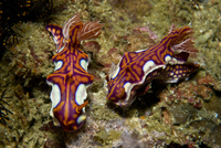 Pair of miamira magnifica nudibranch, Komodo, Indonesia.